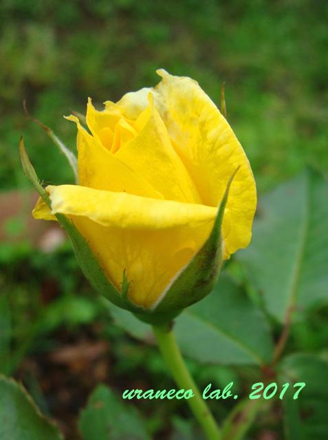 6月21日薔薇5