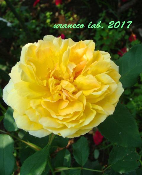 6月21日薔薇3