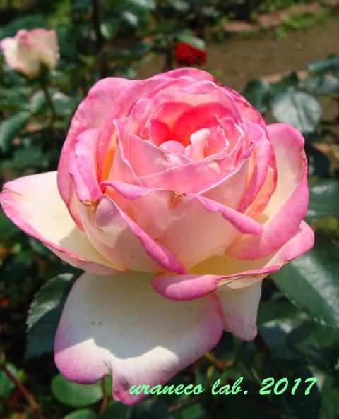 6月21日薔薇