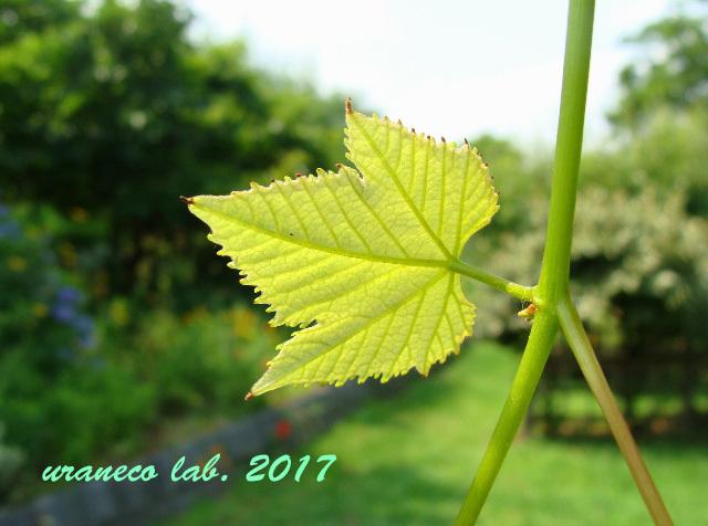 6月29日葡萄の葉っぱ