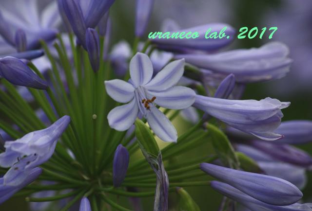 7月6日アガパンサス紫