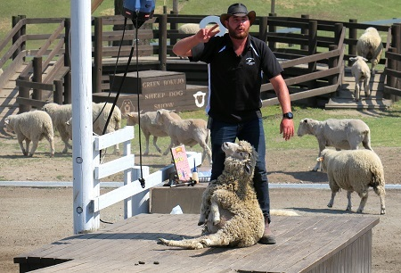 235毛を刈られる羊