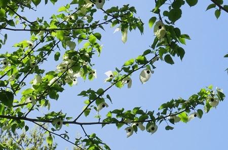 108ハンカチの木