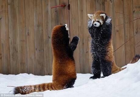 レッサーパンダの威嚇