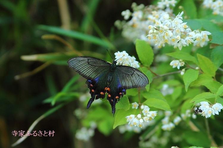 20170527寺家ふるさと村カラスアゲハ(♀春型)-1a