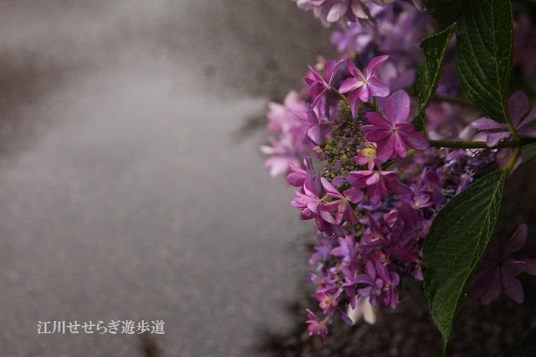 20170618江川せせらぎ遊歩道20a