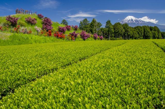 茶畑2017-1