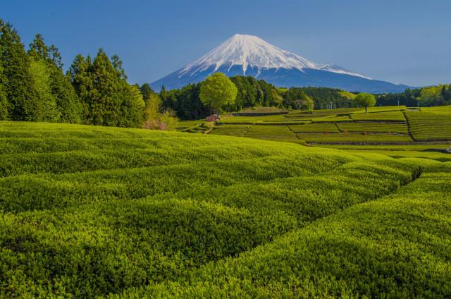 茶畑2017-2