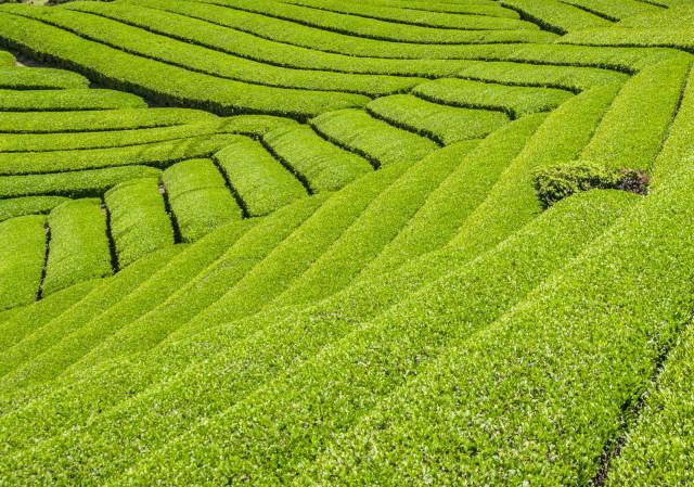 茶畑2017-4