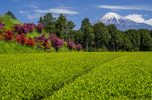 茶畑2017-5