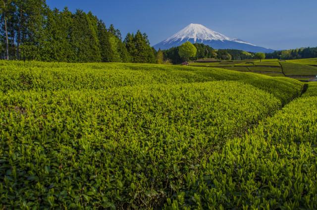 茶畑2017-6
