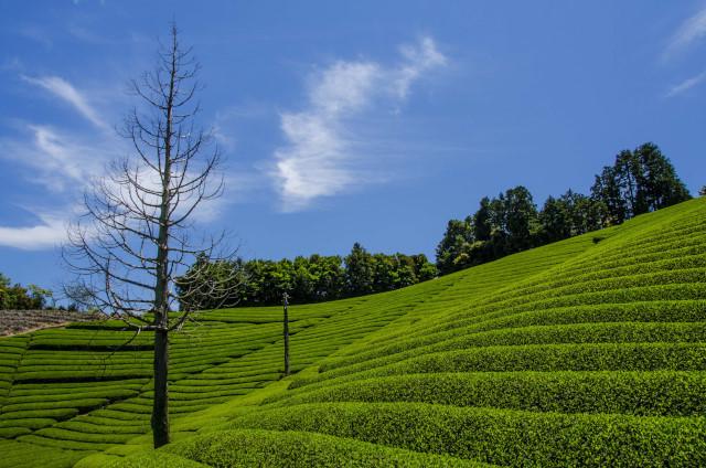 茶畑2017-8