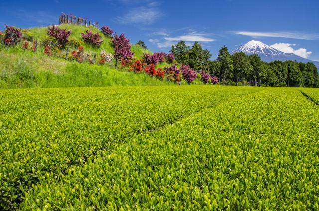 茶畑2017-10