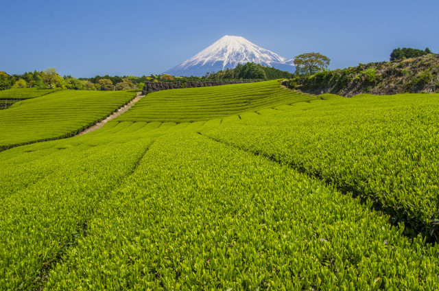 茶畑2017-11