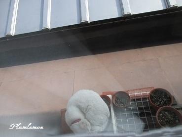 白猫ひるね11706