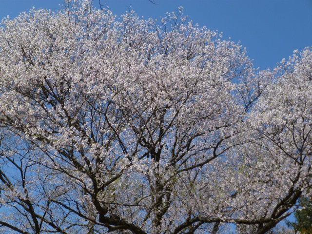 428頂上桜0-1