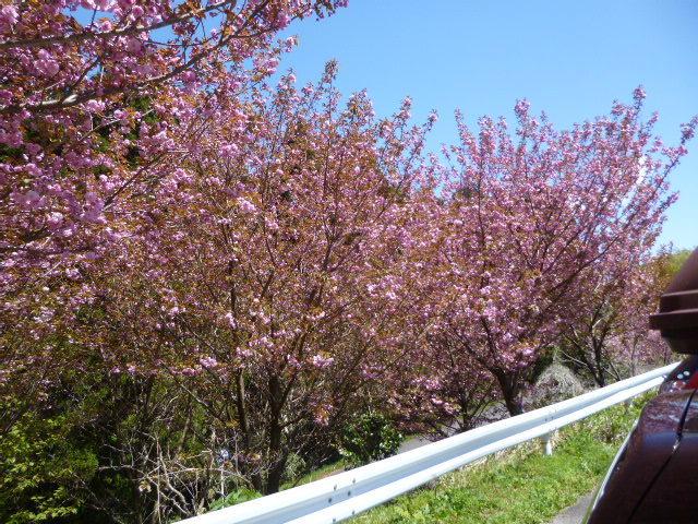 428駐車場桜