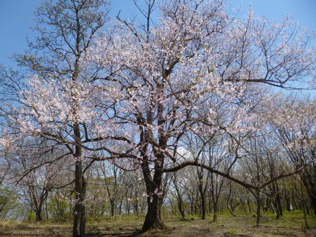 428頂上桜1