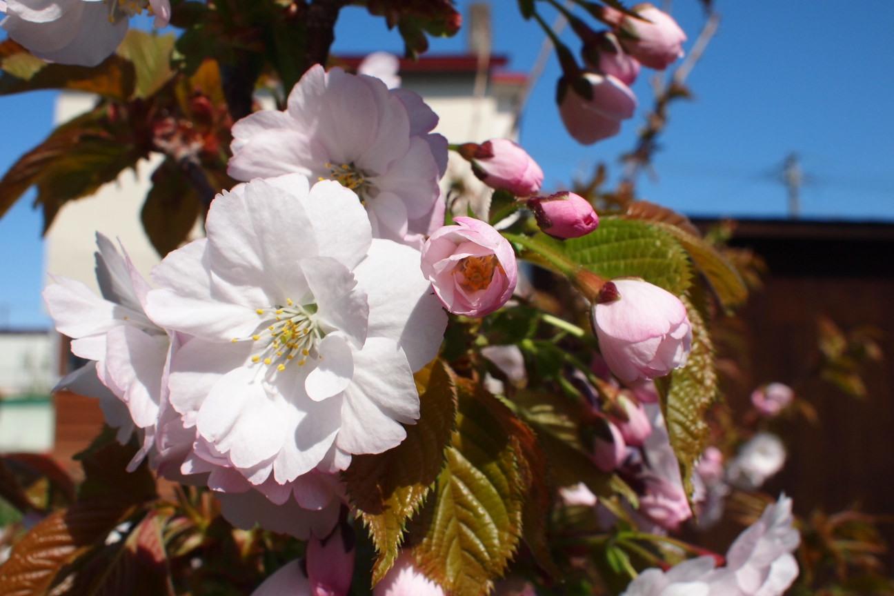 八重桜咲きました!