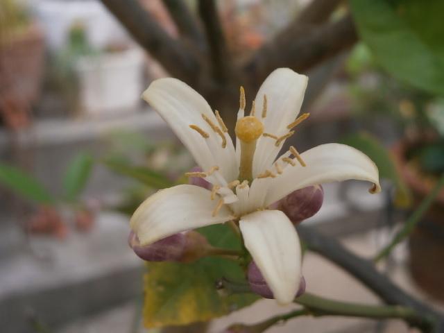 ライムの先端の花