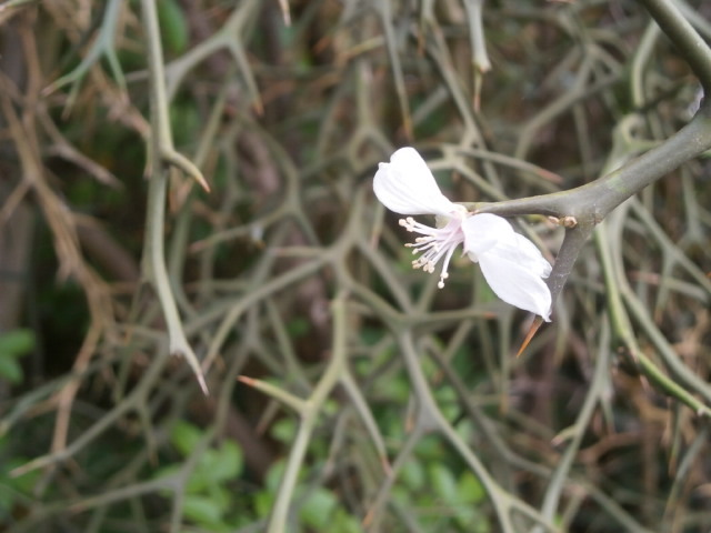 カラタチの花