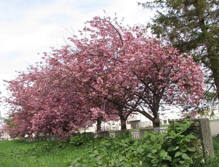 たわわな桜