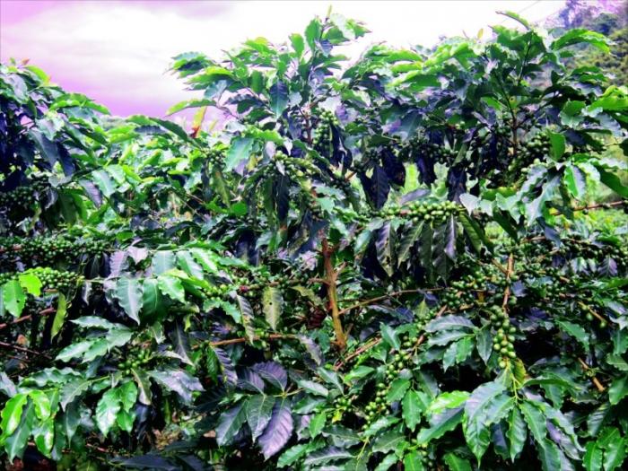 コーヒー農園ツアー (21)