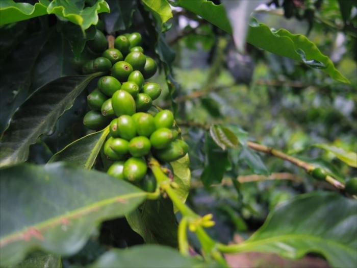 コーヒー農園ツアー (22)