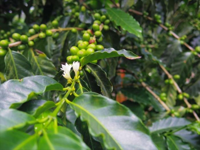 コーヒー農園ツアー (27)