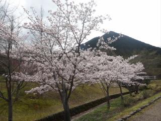 近江富士花緑公園の桜
