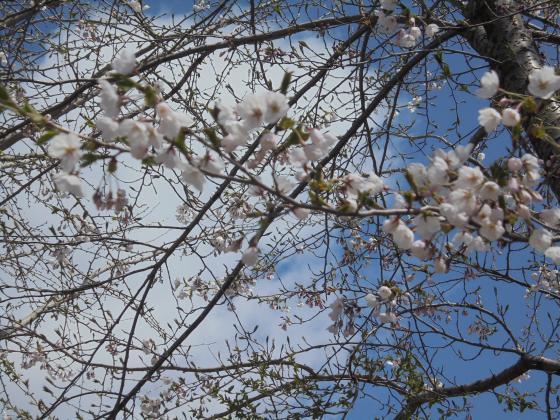 5月2日みなかわ桜2