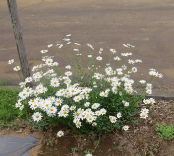 菜園の花5月2