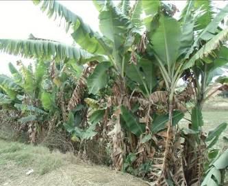 マダガスカルの水田側のバナナの木