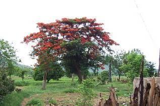 田舎の火炎樹ベナン