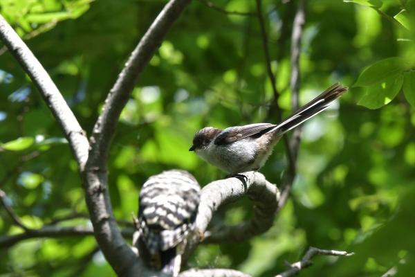 エナガ幼鳥20170527