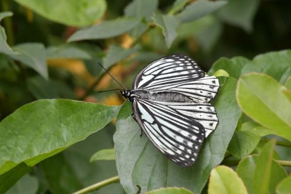 アカボシゴマダラ(春型)20170527