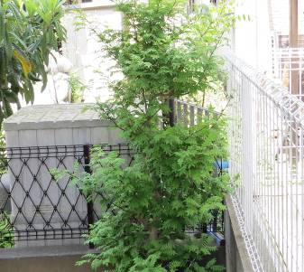 サンショウの木と葉