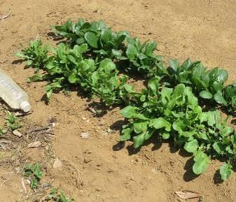 ルッコラとコマツナ4月菜園