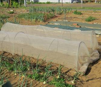 エダマメの防虫ネット栽培