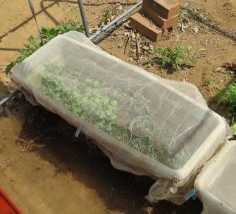 プランタによるポット苗作りと防虫ネット
