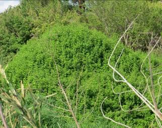 クコの茂み1