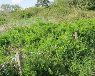 クコの茂み2