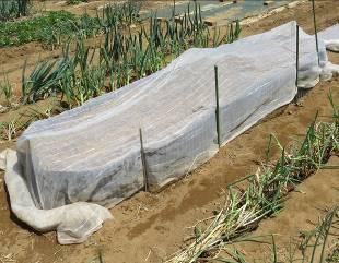 ゴボウ栽培波板囲い