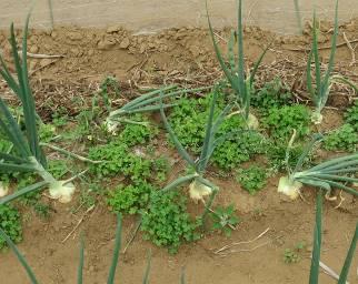 タマネギ早生菜園2
