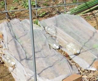 葉ものレタスのベタかけ栽培4月上旬