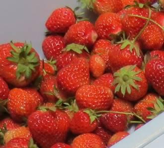 イチゴ収穫物1