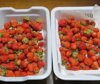 イチゴ収穫物2