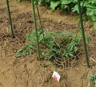 トマト寝せ植え5月