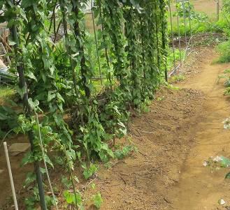 剪定枝で肥えた土とヤマイモ