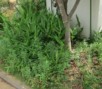ビワの木の下のミョーガ